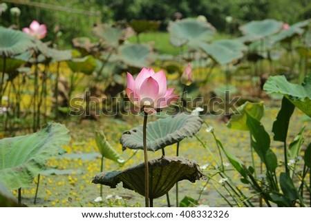 Flower, Lotus, Sacred lotus, Egyptian Lotus, Pink lotus - stock photo