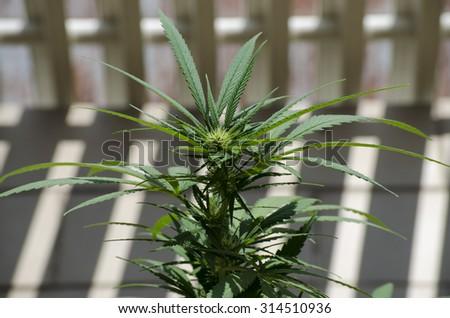 flower marijuana grown naturally - stock photo