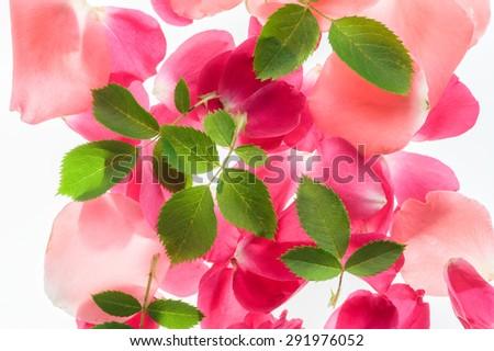 Flower natural background - rose, petals, green leaves backlit. - stock photo