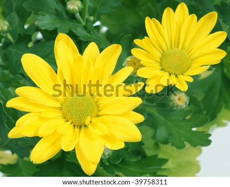 Flower of a chrysanthemum of yellow color close up.