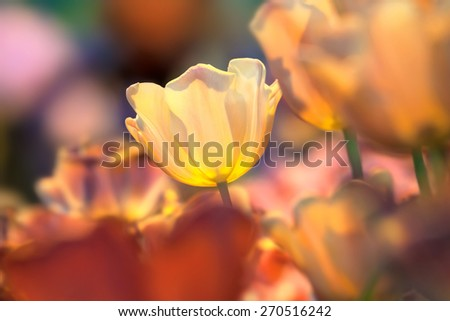 Flower of a yellow tulip on the bright colorfull background - stock photo
