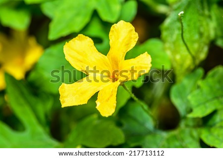 Flower of bitter gourd, background is a bitter gourd.