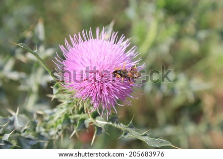 Flower of Burdock Plant and a Wasp - stock photo