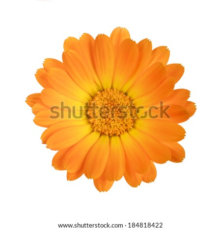 flower of calendula isolated on a white background with clipping path - stock photo