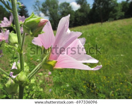 Common Mallow Flowers Stock Images RoyaltyFree Images Vectors