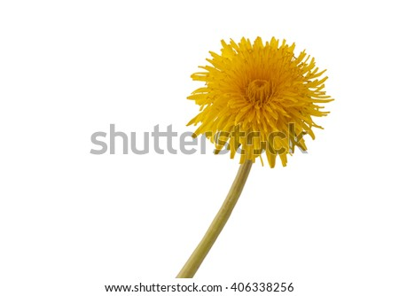 Flower of dandelion. Macro. Flower of dandelion on white background. - stock photo
