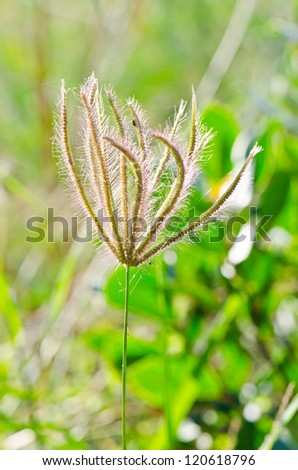 Flower of grass in the nature, Thailand.