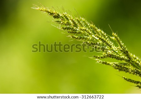Flower of grass (soft focus). - stock photo