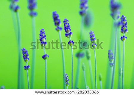 flower of lavender on a green background - stock photo