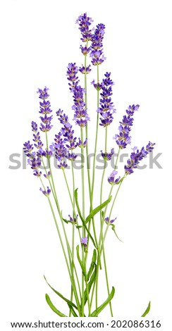 flower of lavender on a white background - stock photo