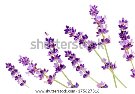 flower of lavender on a white background isolated - stock photo