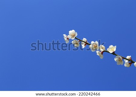 Flower of plum and blue sky - stock photo