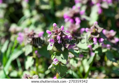 flower of prunella vulgaris over natural background - stock photo