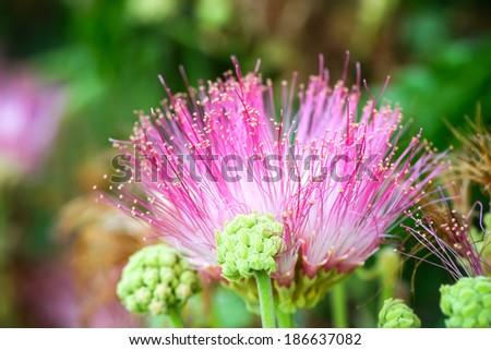 Flower of rain tree. (Samanea saman (Jacq.)) - stock photo
