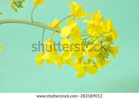 Flower of rape - stock photo