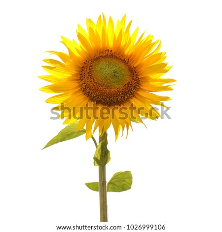 Flower of sunflower isolated on white background. Seeds and oil. Flat lay, top view. Creative concept of agriculture, harvest