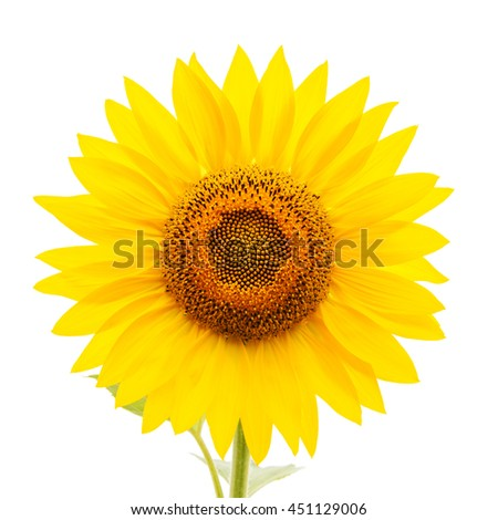 flower of sunflower on white background - stock photo