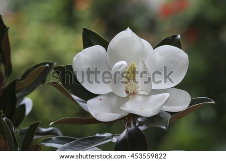 Flower of the Magnolia grandiflora,little gem, tree of the family Magnoliaceae