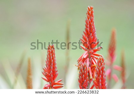 flower of the succulent plant in the garden - stock photo