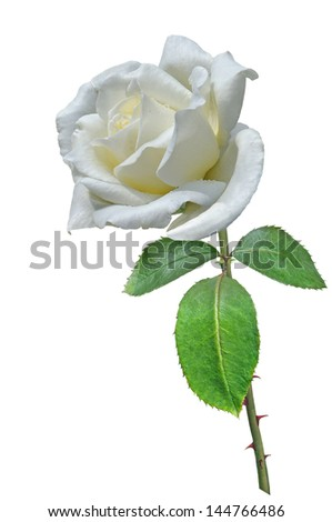 Flower of White Rose with drops of water and stem with thorns and green leaves Isolated On white.