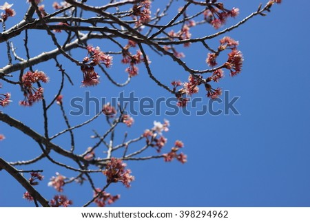 Flower of Wild Cherry