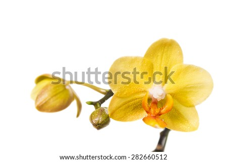 Flower of yellow orchid isolated on white background - stock photo
