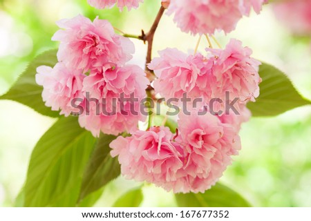flower on tree. sakura. cherry blossom in spring - stock photo