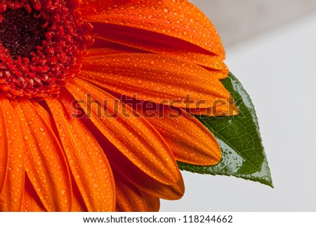 Flower Pedals with Dew - stock photo