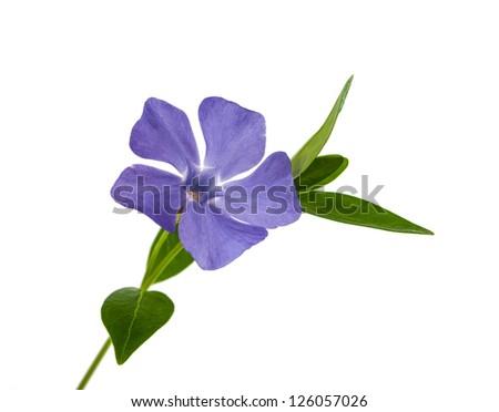 flower periwinkle isolated on white background - stock photo