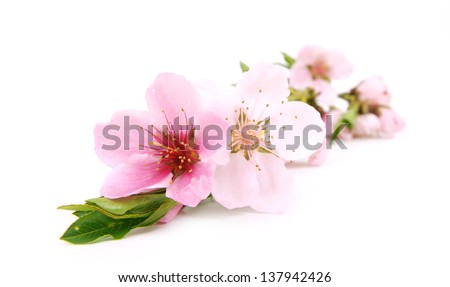 Flower pink cherry - stock photo