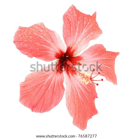 Flower (Pink Hibiscus) in drops isolated