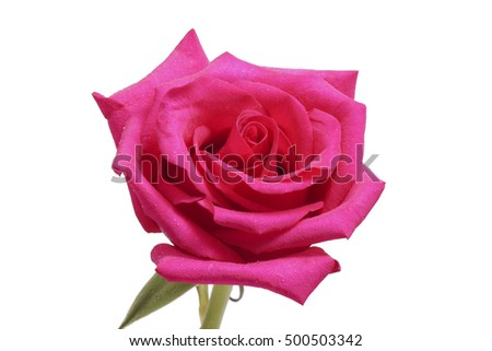 Flower pink rose close up. Isolated on white.