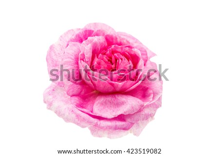 flower pink rose isolated on white background