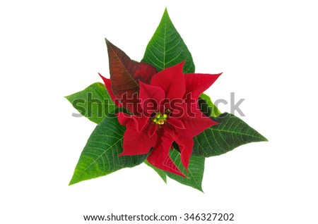 Flower poinsettia isolated on white background - stock photo