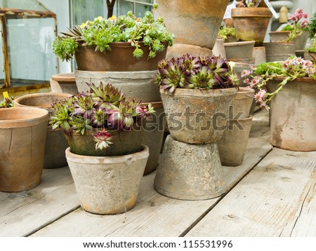 Flower pots in clay with flowering stonecrop plants.