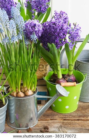 Flower pots with fresh and growing spring blooming plants