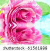 Flower rose - stock photo