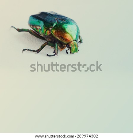 Flower rose chafer. bronze, green color chitin. Multicolor pearl bug. Close-up. Retro colors background. - stock photo