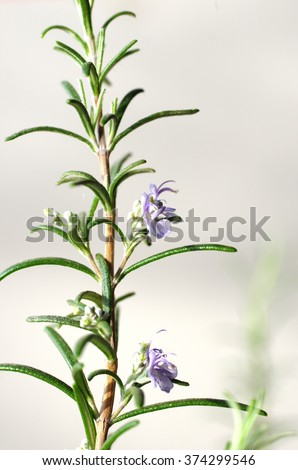 flower rosemary on  bright background