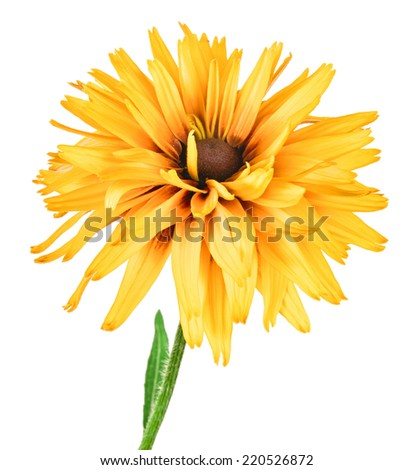 flower rudbeckia isolated on white background - stock photo