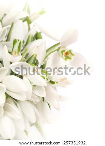 Flower snowdrop        - stock photo