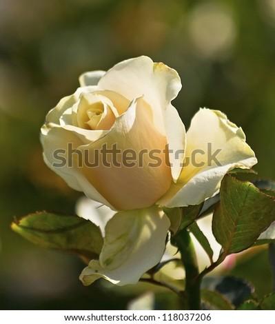 flower tea rose - stock photo