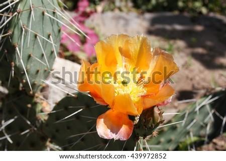 Flower the,plant, cactus opuntia. Succulent  yellow flower.  Cactus, opuntia . Yellow flower Prickly pear cactus. - stock photo