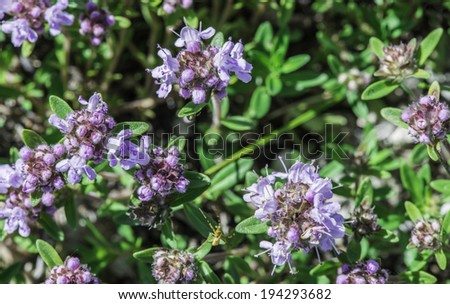 Flower thyme in the nature. Close up  - stock photo