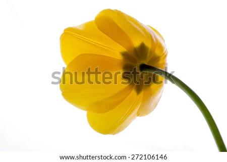 flower tulip yellow isolated on white - stock photo