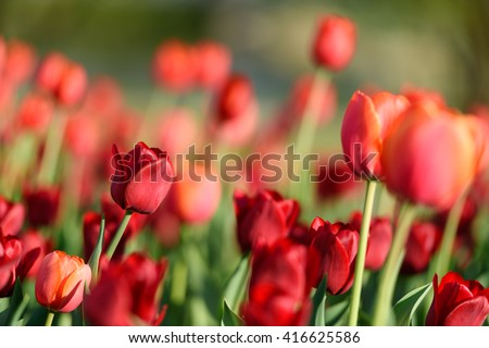 Flower tulips background. Beautiful view of red tulips & sunlight. red tulips, field of tulips, tulips close, tulips cute, tulips, beautiful tulips, colorful tulips, green tulips petals amazing tulips - stock photo