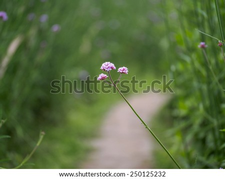 flower Verbena bonariensis - stock photo