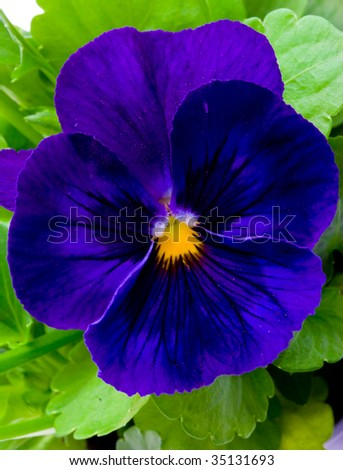 Flower Viola/Pansy violet colour - stock photo