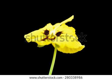 Flower Viola tricolor (Heartsease) - stock photo