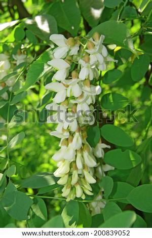 Flower white acacia closeup - stock photo